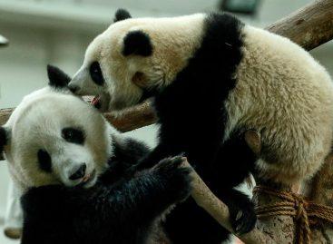 La pareja de pandas del zoo de Kuala Lumpur celebra su décimo cumpleaños