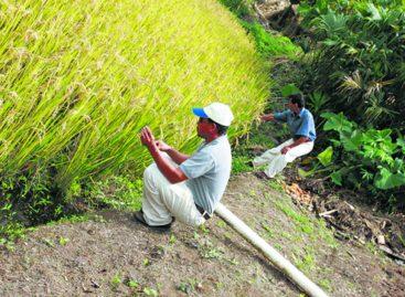 Gobierno le debe US $25 millones a los productores de arroz