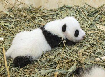 El Zoo de Viena pide sugerencias para el nombre de un bebé panda