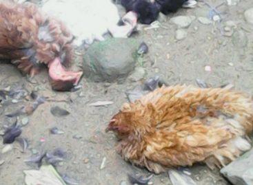 Investigan rara muerte súbita de30aves en Bocas del Toro