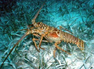 Hasta finales de junio estará suspendida la pesca de langosta espinosa