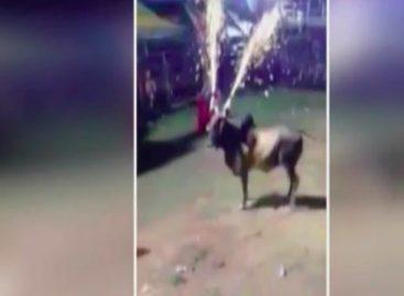Exigen sanciones por colocar pirotecnia en cuernos de un toro en Las Tablas