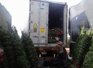 Panamá recibirá más de 100.000 arbolitos desde Canadá para Navidad