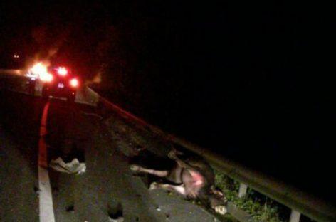 Dos automóviles chocaron contra vacas en la autopista Panamá-Colón