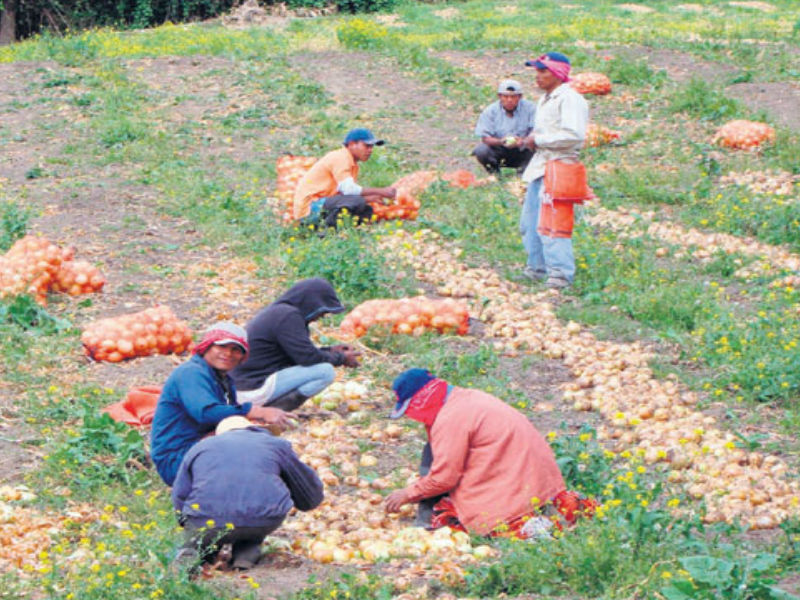 productores de cebolla