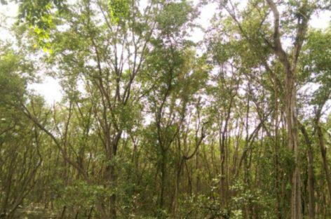 El aporte anual de los manglares de Chiriquí a la economía panameña