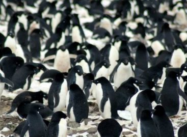 Científicos sorprendidos por hallazgo de 1.5 millones de pingüinos adelaida en el océano Antártico