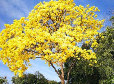 Los guayacanes adornan el país y puedes ubicarlos «online»