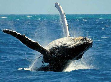 Los mejores sitios para avistar las ballenas jorobadas en Panamá