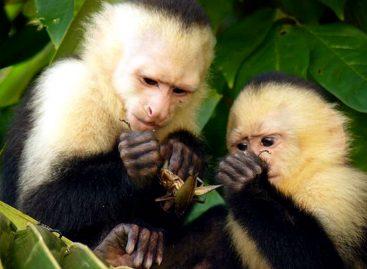 Monos capuchinos panameños parecen haber entrado a su edad de piedra