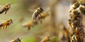 abejas africanizadas