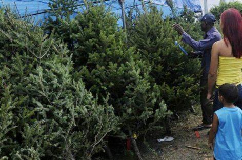 La razón por la que están escaseando los árboles de navidad en Milla 8