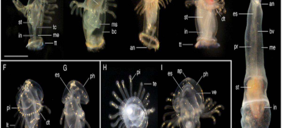 Encuentran ocho nuevas especies de larvas marinas en aguas panameñas