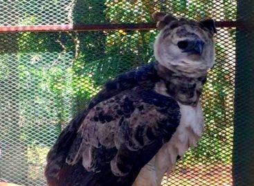Denuncian que fue hurtada un águila harpía del Parque Municipal Summit
