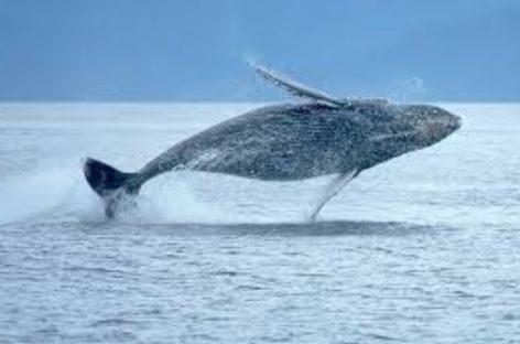 Inicia con antelación temporada de avistamiento de ballenas en el Pacífico panameño