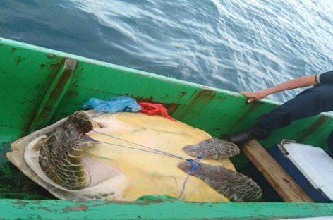 Cuatro detenidos tras rescate de dos tortugas verdes que eran trasladadas dentro de embarcación