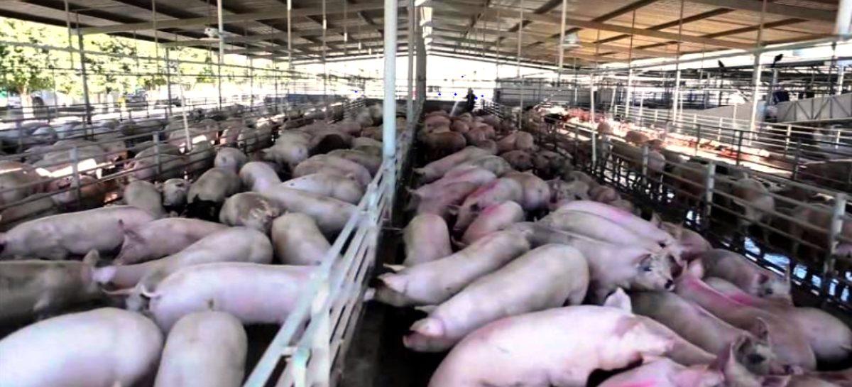 MIDA declara alerta zoosanitaria por Peste Porcina Africana