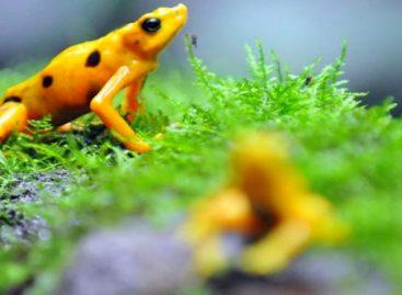 Congelan espermatozoides de la rana dorada en Panamá para evitar su extinción