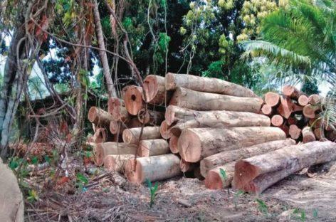 Gobierno instaló chips en árboles de Darién para impedir la tala ilegal